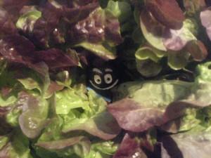 14. August: Der Salat-Virus als neue Gefahr nach der Schweinegrippe