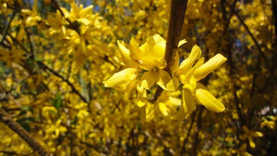Gelbe Blüten in der Sonnenanbeterzeit.