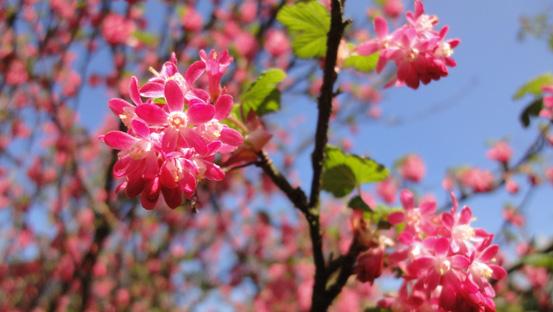 Das pinke Blütenwunder