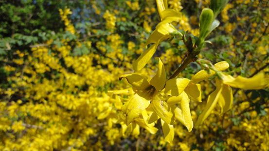 Eine gelbe Forsythie