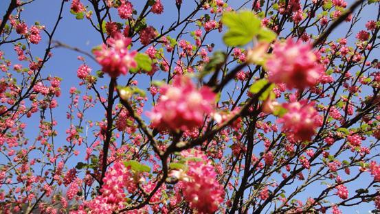 Rosarote Kirschblüten im später Frühling 2013