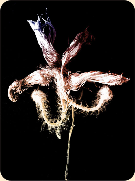 Kerzenblume